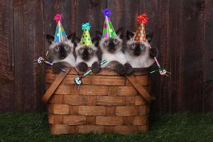 gattini siamesi che festeggiano un compleanno con i cappelli foto