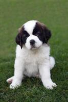 ritratto del cucciolo di san bernardo foto