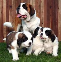 adorabili cuccioli di san bernardo foto