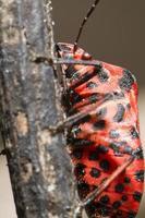 grafosoma lineatum bug foto
