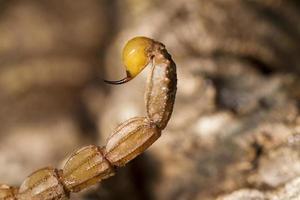 coda di puntura di scorpione buthus foto