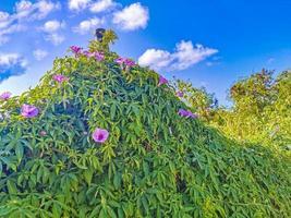 Le glorie del mattino rosa messicano fioriscono sul recinto con foglie verdi foto