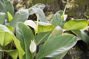belle piante di giglio della pace nei giardini botanici di perdana, malesia foto