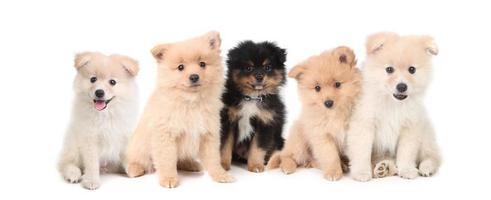 cuccioli di pomerania allineati su sfondo bianco foto
