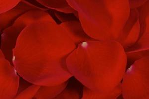 petali di rosa sovrapposti foto
