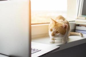 il gatto si trova vicino alla finestra con un laptop e guarda il monitor, il gattino usa il computer foto