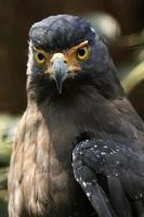 ritratto di un'aquila reale allo stato brado in un parco di conservazione degli animali foto