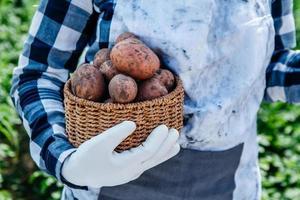 patate in un cesto di vimini nelle mani di una contadina sullo sfondo del fogliame verde foto