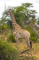 bella alta maestosa giraffa parco nazionale Kruger safari sud africa. foto