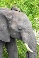 Big Five elefante africano Kruger National Park safari in Sud Africa. foto