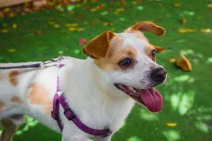 adorabile jack russell terrier cane nel parco foto