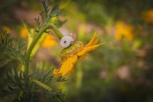 primo piano di una lumaca su un fiore di crisantemo giallo foto