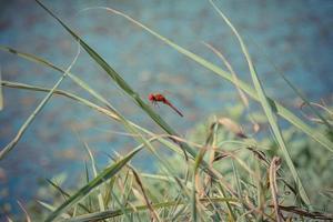 libellula rossa appoggiata su una foglia foto