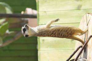 primo piano di suricato carino foto