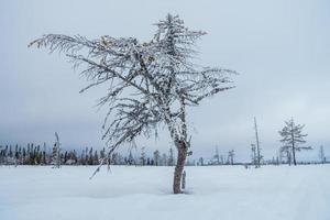 albero congelato negli altopiani svedesi foto