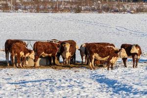 mandria di mucche in piedi nella neve in un pascolo invernale in Svezia foto