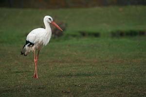 ritratto di cicogna bianca foto