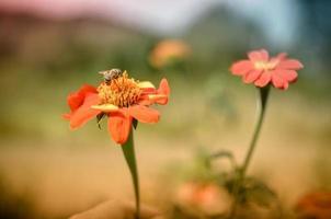 umiltà-ape seduta su un fiore rosso dalia foto