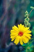 fiori gialli di calendula che sbocciano, fiori di calendula in giardino foto