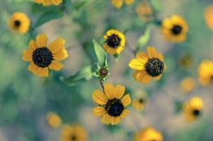 rudbeckia hirta l. toto, fiori di Susan dagli occhi neri della famiglia delle Asteraceae foto