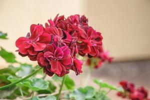 primo piano di un bel rosso geranio su sfondo sfocato foto