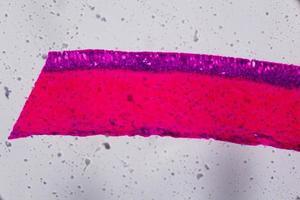 anodonta branchie epitelio ciliato al microscopio - colore rosa e viola astratto su sfondo bianco foto