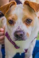 adorabile jack russell terrier cane nel parco guardando la fotocamera foto