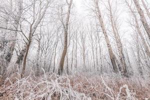 alberi coperti di neve nella foresta invernale con percorso. foresta di betulle ghiacciate, paesaggio naturale nebbioso di mattina d'inverno foto