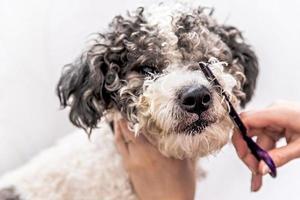 simpatico cane bichon frise bianco e nero che viene curato da un toelettatore professionista foto