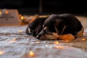 simpatico cucciolo che dorme nel letto con luci e scatole regalo foto