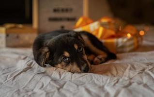 simpatico cucciolo sdraiato nel letto con luci e scatole regalo foto