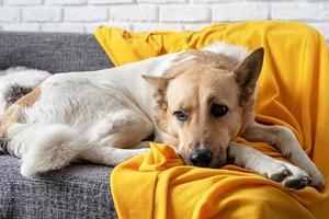 cane da pastore stanco sul divano di casa foto