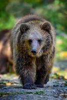 cucciolo di cucciolo di orso bruno selvaggio nella foresta autunnale. animale in habitat naturale foto
