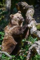 orso bruno selvaggio nella foresta autunnale. animale in habitat naturale foto