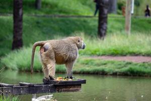 babbuino guinea animale foto