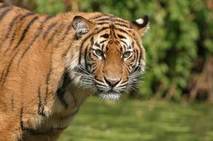 ritratto di tigre foto