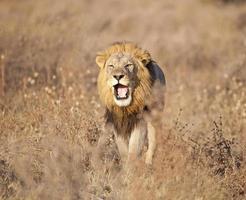 leone ruggente, savuti palude, chobe, botswana foto