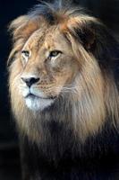 leone africano foto