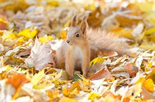 scoiattolo rosso foto