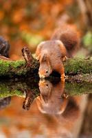 riflessione scoiattolo foto