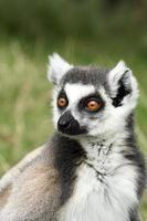 Lemure dalla coda ad anello. foto