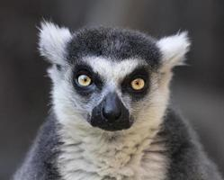 contatto visivo con un lemure dalla coda ad anelli, gatto del Madagascar. foto