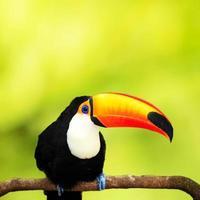 Tucan colorato in voliera