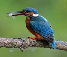 martin pescatore con pesciolino