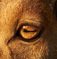 primo piano dell'occhio di pecora foto