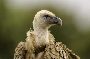 primo piano di una testa di avvoltoio.