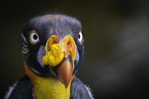 avvoltoio reale foto