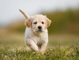 cucciolo di golden retriever che corre verso la macchina fotografica