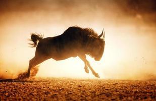 GNU blu in esecuzione in polvere foto