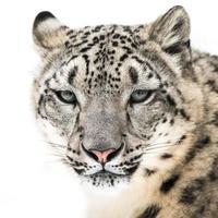 snow leopard xvi foto